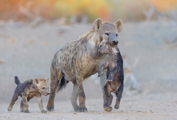 A mother hyena carries her young