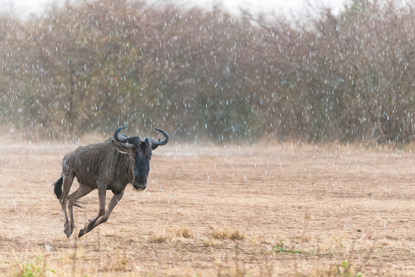 A wildebeest running in the rain