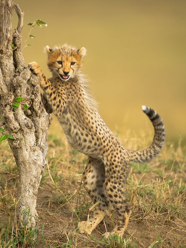 A young cheetah cub investigates its surrounds