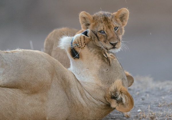 A young lion cub greets its mother in a show of affection