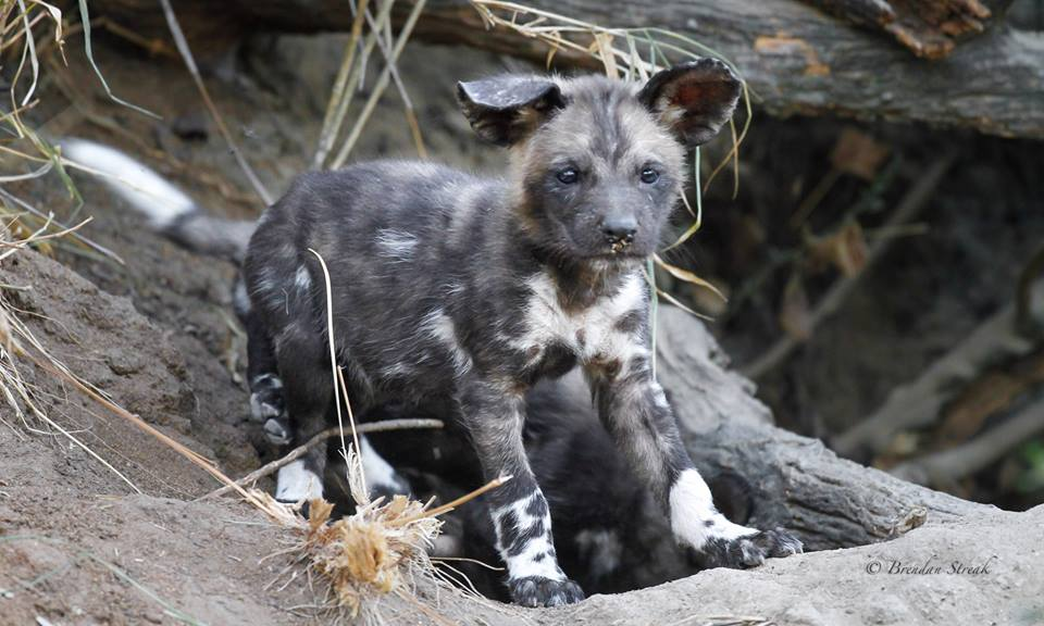 Wild dogs are best viewed in this area, however, sightings are not guaranteed