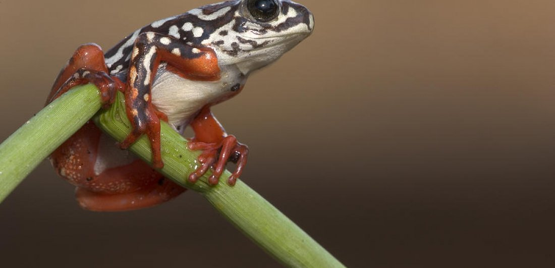 Up close in the channels, beneath the waving papyrus, painted reed frogs can be seen clinging to the stems.