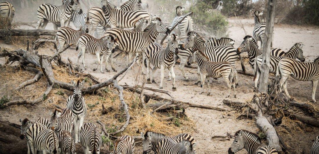 The zebra migration begins when the rains fall - usually around Nov-Dec
