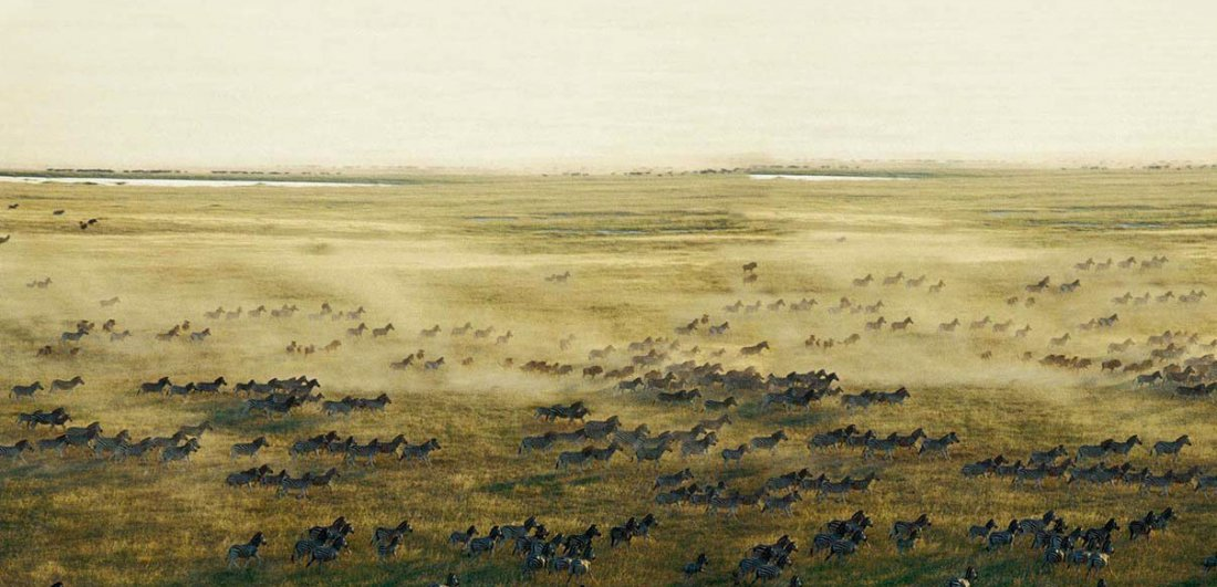 Herds of zebra cross the plains during Botswana's dry season