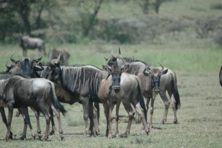 last-years-wildebeest-calves