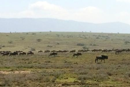 wildebeest-migration-close-to-alamana