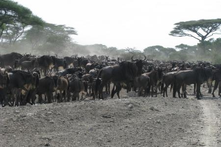 there-are-still-big-wildebeest-numbers-in-ndutu