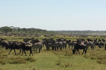 zebra-and-wildebeest-in-ndutu