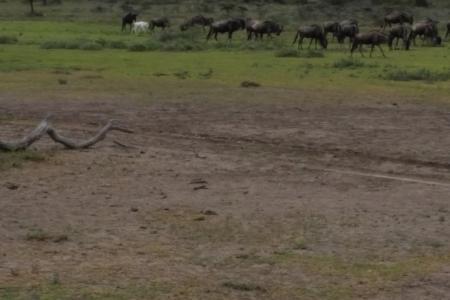 albino-wildebeest-in-the-serengeti