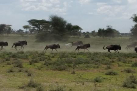 albino-wildebeest-running-with-the-herd