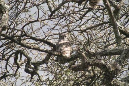 owl-watching-the-wildebeest-herds
