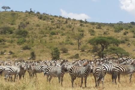 zebra-in-seronera