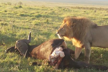 lion-with-a-buffalo-kill