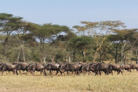 wildebeest-migration-in-seronera
