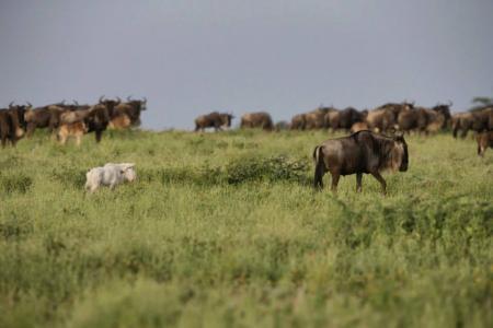 albino-wildebeest-calf