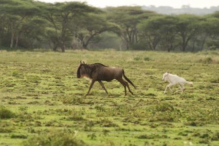 white-wildebeest-calf-close-to-serians-serengeti-south-camp