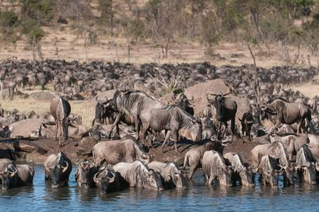 wildebeest-having-a-drink