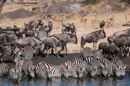 zebra-at-the-waterhole