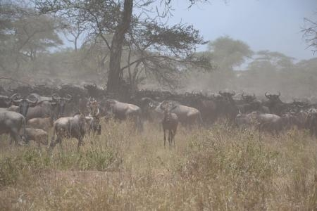 wildebeest-in-the-serengeti