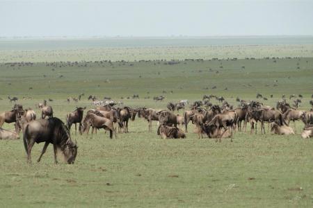 wildebeest-in-ndutu