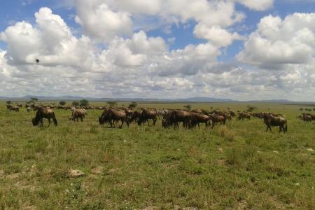 big-herds-at-lakes-ndutu-and-masek