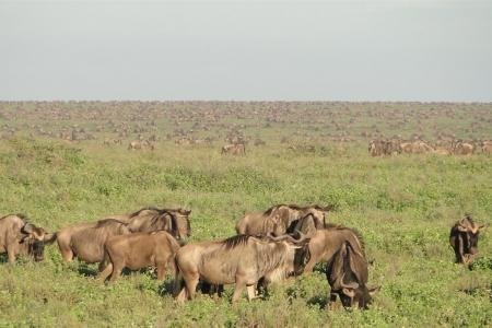 the-herds-are-spread-out-in-ndutu