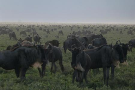 ndutu-is-packed-with-wildebeest