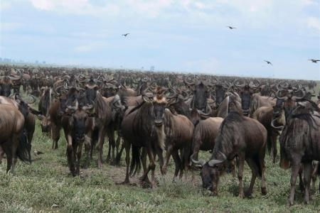 wildebeest-migration-in-makao