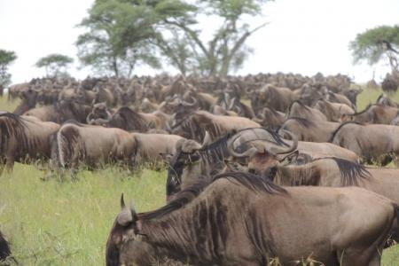 the-herds-of-the-wildebeest-migration