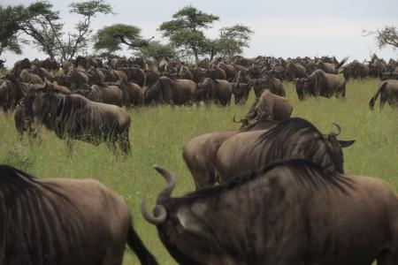 the-serengeti-herds-have-received-good-rain