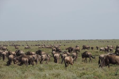 wildebeest-close-to-naabi-hill