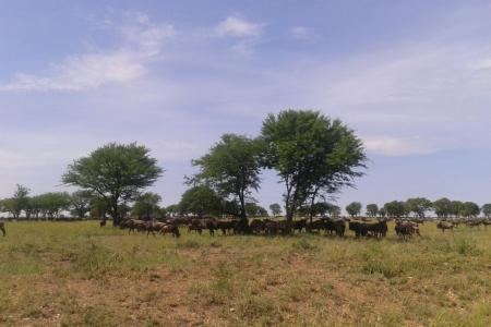 migratory-herds-between-mbuzi-mawe