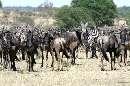 wildebeest-herds-are-in-mbuzi-mawe