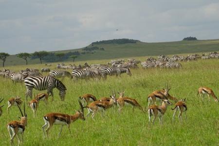 zebra-and-thomsons-gazelle