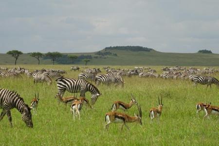 zebra-and-thomsons-gazelle-grazing