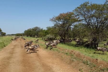 herds-are-close-to-lobo