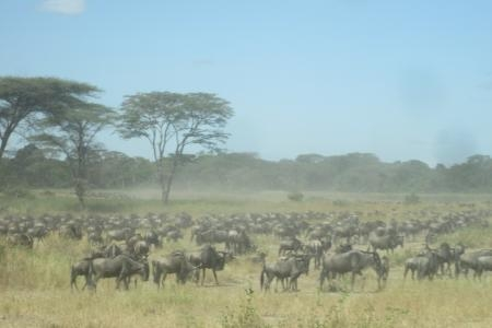 southern-herds-arrive-at-the-grumeti-river