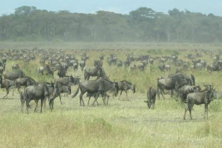 wildebeest-migration-close-to-the-grumeti-river