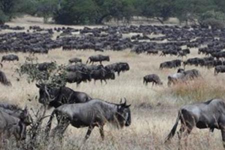 wildebeest-in-grumeti