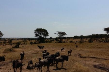 wildebeest-at-kogatende