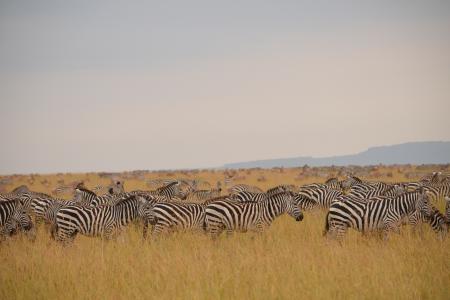 zebra-on-the-topi-plains