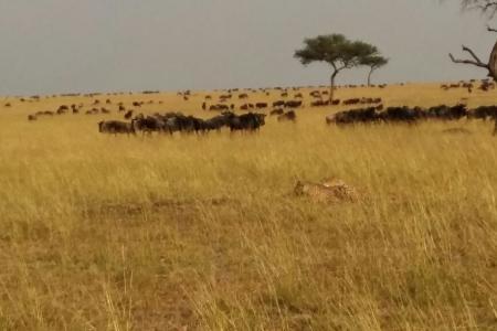 cheetah-watching-wildebeest