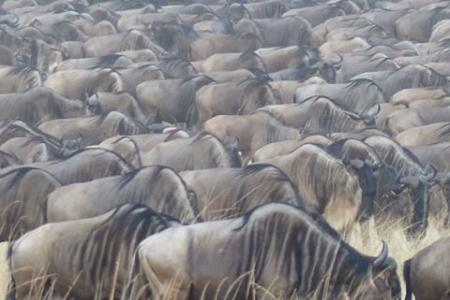 wildebeest-migration-in-kogatende