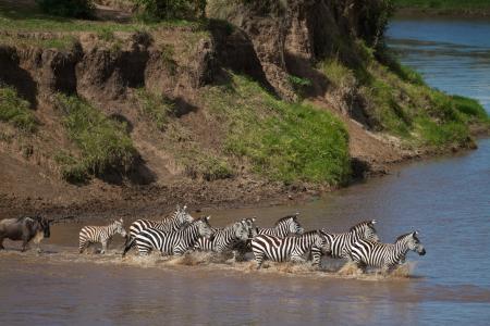 zebra-and-wildebeest-crossing-the-mara-river