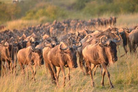 wildebeest-on-the-topi-plains
