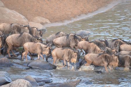 wildebeest-crossing-the-talek-river