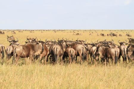 wildebeest-on-the-bila-shaka-plains