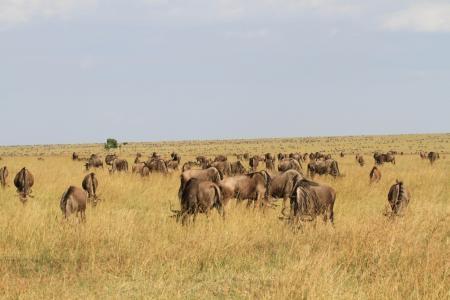 wildebeest-on-the-rhino-ridge-plains