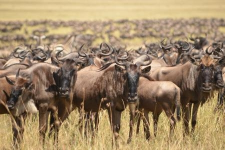 herds-west-of-the-mara-reserve-at-paradise-plains