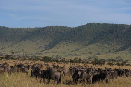 wildebeest-on-the-oloololo-escarpment